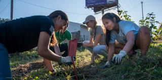 Three female students pick weeds in a grassy area.